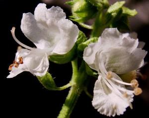 ocimum fleurs